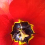 Tulip in My Backyard - closeup of red tulip