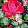 Velvet Rose Blossom