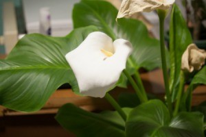 A calla lily in a pot, inside.