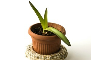 An amaryllis with green leaves growing.