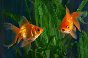 Two goldfish in a tank with green plants.