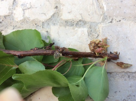 Identifying a Disease on an Apricot Tree