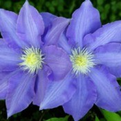 Two purple clematis blossoms growing outside.