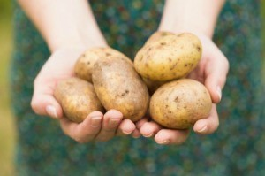 Hands holding potatoes, fresh from the garden.