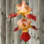 All Flowers Deserve A Hard And Digital File - peach and bronze iris flowers