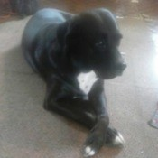 Pandora (Boxer Mix) - black dog with white on chest and feet