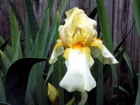 Yellow Two Tone Iris - yellow and white iris with orange in center
