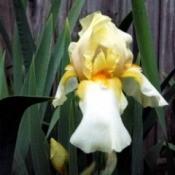 Yellow Two Tone Iris - yellow and white iris with orange in center