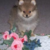 Dozer a Pomeranian