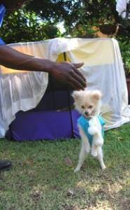 White Pomeranian playing outside