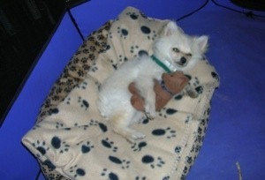Pomeranian laying in a dog bed