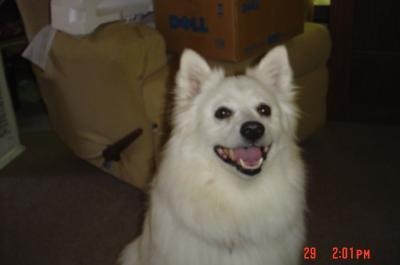 Skippy smiling Pomeranian