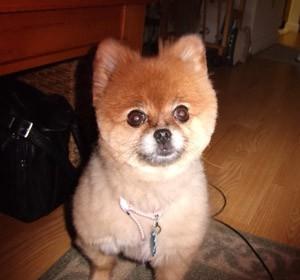 Selah (Pomeranian)