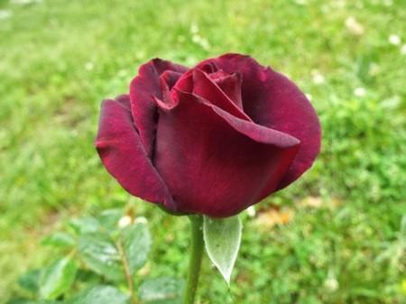 Dark Desire Rose - dark red rose