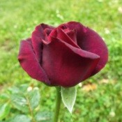 Dark Desire Rose - dark red rose