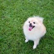A Pomeranian in a grassy yard.
