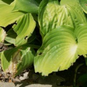 A hosta with the leaves eaten.