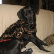 Lola Hardy (Lab/Cattle Dog)