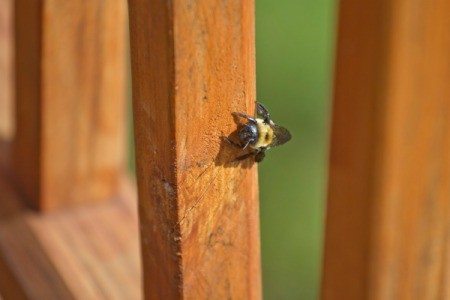 A carpenter bee drilling into a wood post.