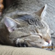 Bobby (Tabby Colored Manx) - closeup of cat's face sleeping