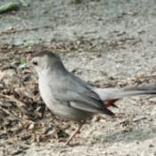 Gray Catbirds Gather Nest Materials - catbird with nesting materials in its beak