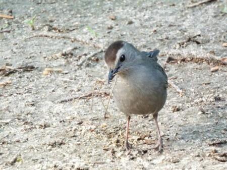 Gray Catbirds Gather Nest Materials