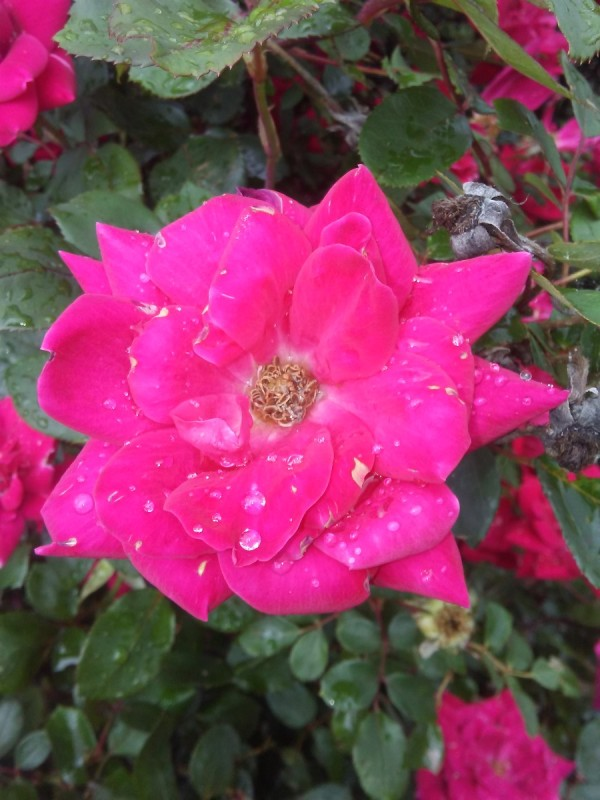 A pink rose growing outside.