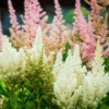 Astilbe flowers growing in a garden.
