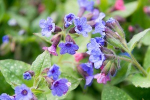 Lungwort blossoms growing in a garden.