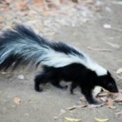 A skunk walking in a park.