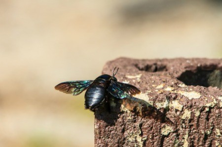 A carpenter bee on an old stump.