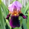 An Iris I Call 'Appreciation'
