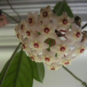 Getting a Hoya to Bloom