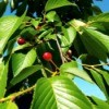 Yoshiko Cherries - small bright red cherries