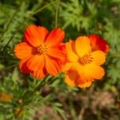 An orange cosmos flower growing in a garden.