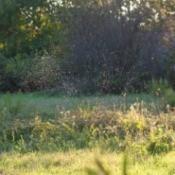 A cloud of gnats over a grassy field near sunset.