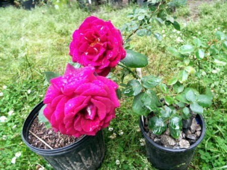 Making Rose Water - pots with roses
