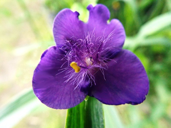 Tradescantia Close Up - purple flower with fuzzy center