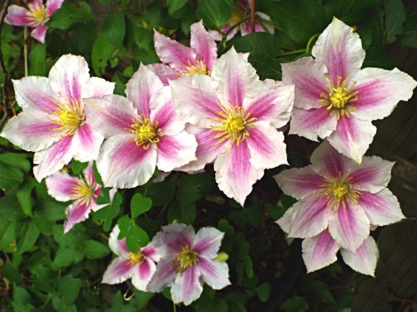 Clematis Little Duckling - numerous pink and white flowers