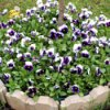 Circular Pansy Bed - purple and white pansies