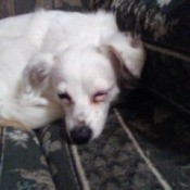 Treating a Dog's Weepy Eye - white dog with weeping eye