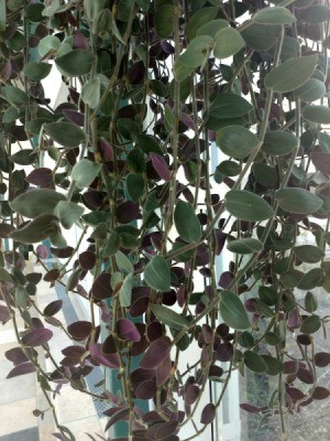 What Is This Houseplant? - hanging plant with green leaves with purple backs