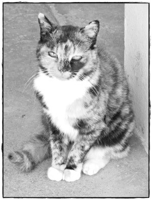 Peaceful Cat Grayscale Coloring Page - grayscale photo of a calico cat.