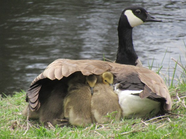 Mother Goose - goose with babies under her wing