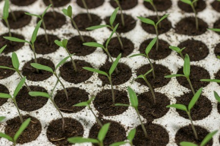 A row of seedlings in divided pots.