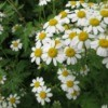 Feverfew in bloom, growing outside.