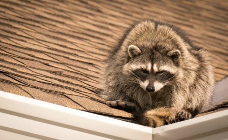 A raccoon on the roof of a house.