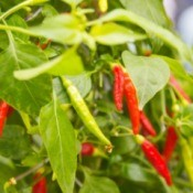 Cayenne peppers, growing in a garden.