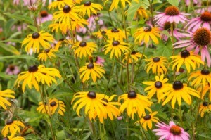 A garden bed of orange colored Black-Eyed Susan flowers in bloom.