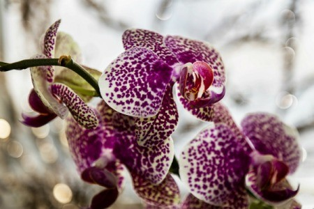 A purple orchid growing next to a window.